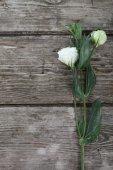 White eustoma — Stock Photo