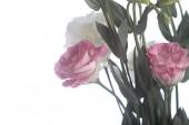 Pink eustoma — Fotografia Stock