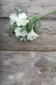 White alstroemeria  — Stock Photo
