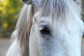 Head of a white horse — Stock Photo