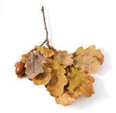 Autumn leafs of oak — Стоковое фото