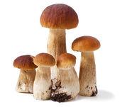 Boletus mushroom — Stock Photo