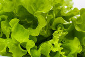 Lettuce leaves close up — Stock Photo
