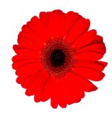 цветок красивый герберы — Стоковое фото