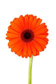 Beautiful gerbera flower — Stock Photo