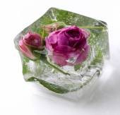 Rose in ice cube — Stock Photo