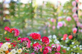 Blossoming branch of roses — Stock Photo