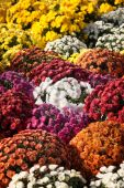 Background of blooming chrysanthemums — Stock Photo