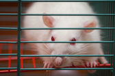 White rat in a cage — Stock Photo