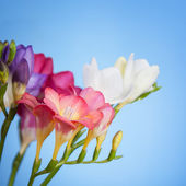 Flowers of freesia on a blue background — Stock Photo