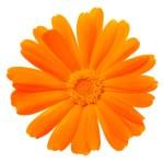 Beautiful calendula flower — Stock Photo #69186691