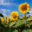 Sunflowers under blue sky with clouds — Stock Photo #73786121