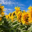 Sunflowers under blue sky with clouds — Stock Photo #73786217