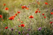 Red poppies in green grass — Stock Photo