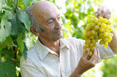 Senior happy farmer at vineyard — Stock Photo