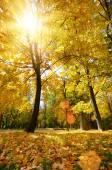 Golden fallen maple leaves — Stock Photo