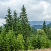 Foggy morning landscape with pine tree highland forest — Stock Photo