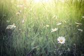 úžasné východ slunce na letní louka s květy — Stock fotografie