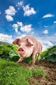 Cute pig grazing at summer meadow at mountains pasturage — Foto de Stock