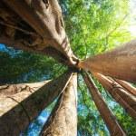 Sunny rainforest with giant banyan tree — Stock Photo #54502093