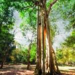 Sunny rainforest with giant banyan tree — Stock Photo #54502095