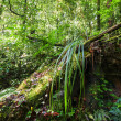 Wild tropical plant in mossy rain forest — Stock Photo #54502175
