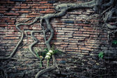 Ancient brick wall with growing banyan tree roots  — Stock Photo