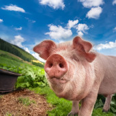 Cute pig grazing at summer meadow at mountains pasturage — Stock Photo
