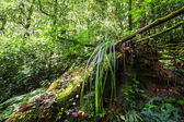 Wild tropical plant in mossy rain forest — Stock Photo