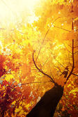 Abstract autumn nature background with maple tree leaves — Stock Photo