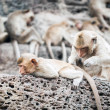 Long tailed macaque monkeys — Stock Photo #58249219