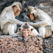 Long tailed macaque monkeys — Stock Photo #58249239