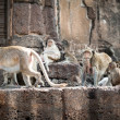 Long tailed macaque monkeys — Stock Photo #58249275