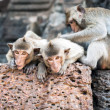 Long tailed macaque monkeys — Stock Photo #58249319