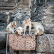 Long tailed macaque monkeys — Stock Photo #58249329
