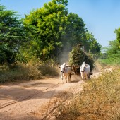 Oxen pulling cart with hay. — Stock Photo