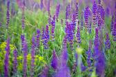 Salvia  — Stock Photo