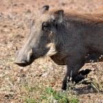 African Wildlife: Warthog — Stock Photo #55879839
