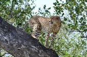 Wildlife in Africa: Cheetah — Stock Photo