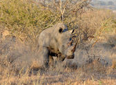 Africa Big Five: White Rhinoceros — Stock Photo