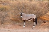 Gemsbok Antelope (Oryx gazella) — Stock Photo