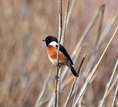 African Stonechat bird — Foto de Stock