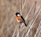 African Stonechat bird — Stockfoto