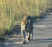 Leopard in Africa — Stock Photo