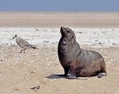 Seals on the Sceleton Coast — Stock Photo