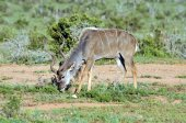 Kudu Antelope in the wild. — Stock Photo