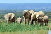 African Elephants in Addo Elephant National Park — Stock Photo