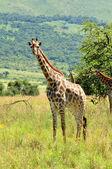 Female Giraffe in South Africa  — Stock Photo