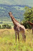 Female Giraffe in South Africa  — Foto de Stock