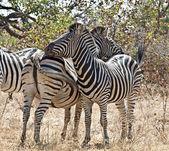 Burchell's Zebra in Africa — Fotografia Stock